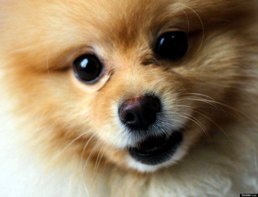 12 motivos para amar o Lulu da Pomerânia, o cachorro mais divo do
