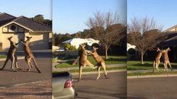 Pancadaria! Na Austrália, cangurus brigam no meio da