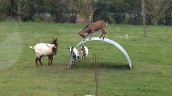O que acontece quando cabras encontram com uma chapa de