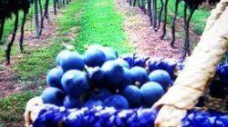 7 destinos para você colher uva (e fazer vinho) ainda nesta