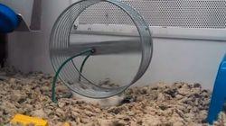 Este hamster descobriu uma nova maneira de usar sua roda de