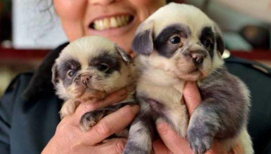 Estes filhotes de cachorro parecem pequenos pandas