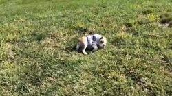 Uma fofura: esta cachorrinha adora rolar ladeira