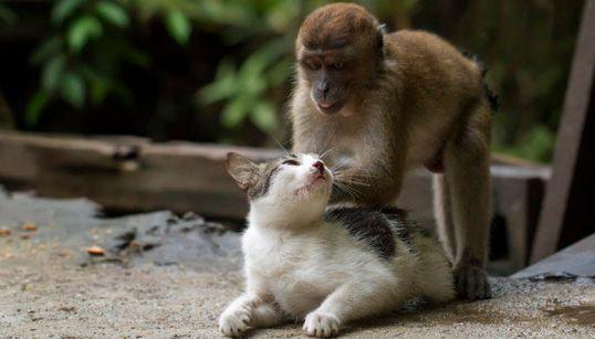 Veja: este gato ganhou massagem de um macaco... E