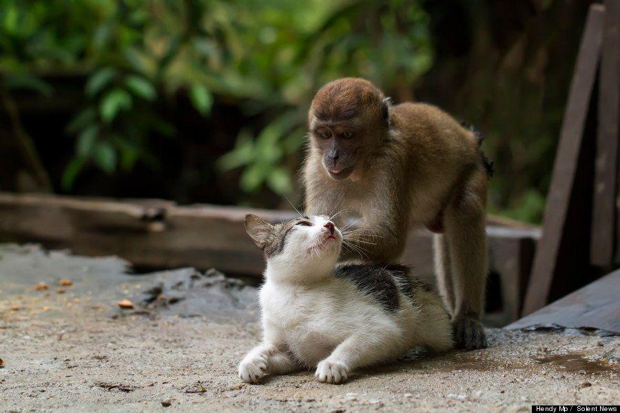 Amizade animal: gato ganha massagem de macaco
