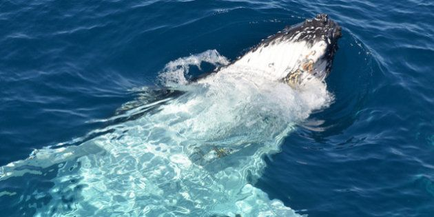 Maior varejista online do Japão pára de vender carne de baleia e