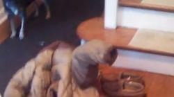 ASSISTA: cachorro erra a saída e acaba preso em