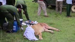 Incrível: veterinários tentam salvar leoa chifrada por