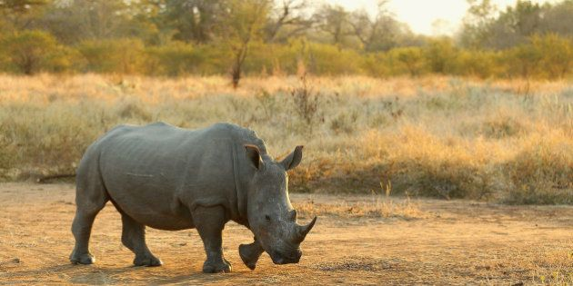 Rinocerontes podem estar extintos em