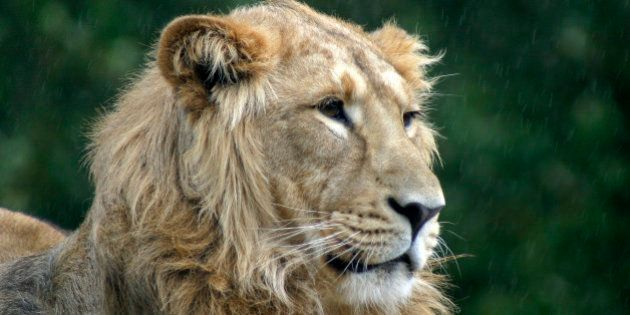 Cotswold Wildlife park, Lion is indifferent to photographers and the