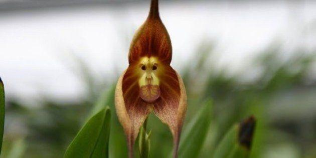 Conheça a orquídea que tem cara de