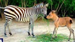 Zebra + jumento =