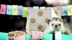 ASSISTA: Este porco-espinho ganhou a menor festa de aniversário do