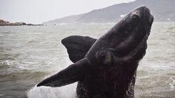 Boa notícia: baleias jubartes do Brasil estão salvas da