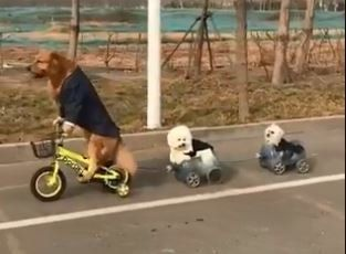 Κίνα: Ο σκύλος που οδηγεί ποδήλατο, μοτοσικλέτα και