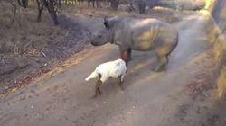 Amizade curiosa! Rinoceronte e cordeiro se divertem