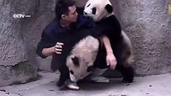 Filhotes de panda não gostam de remédio, mas adoram