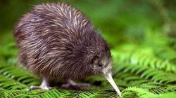 Uma pergunta sobre o Kiwi: afinal de contas, o que é