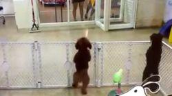 Cachorrinho pula e dança ao ver seu