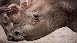 Ainda dá tempo de salvar os rinocerontes brancos da