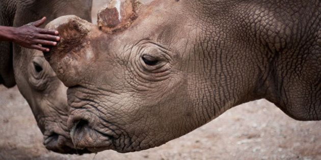 Ameaçados de extinção: só sobraram seis rinocerontes brancos na