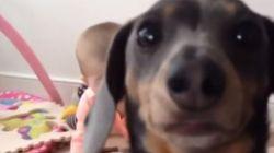 Que dóziiiiiiiinha! Cachorro carente disputa atenção com