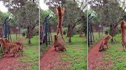 ASSISTA: Tigre 'voa' para apanhar carne no
