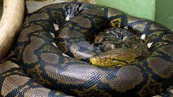 Sozinha, esta cobra conseguiu o que queria: ser