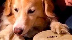 O cachorro Maple vai ser sua nova obsessão do
