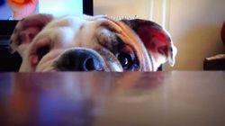 ASSISTA: Este bulldog brincando de esconde-esconde vai fazer o seu coração