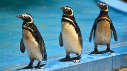 Estas imagens mostram que não está fácil nem para os pinguins no Rio de