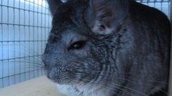 Proibida a criação de animais para extração de peles em São