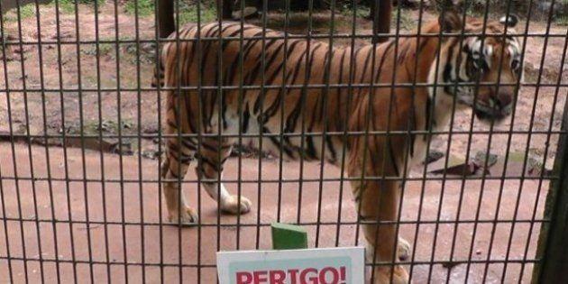 Estimulada por pai, criança tenta alimentar tigre em zoológico e é atacado
