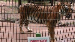 Incentivada por pai sem noção, criança tenta alimentar tigre em zoo e é
