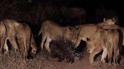 Crise na savana! Porco-espinho enfrenta 17 leoas na África do