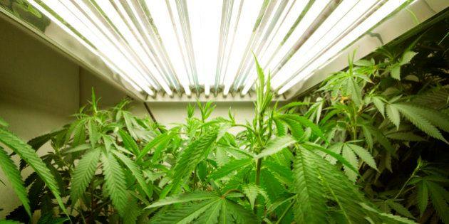 Legalização da Maconha: New York Times publica anúncio de página inteira de empresa ligada ao comércio...