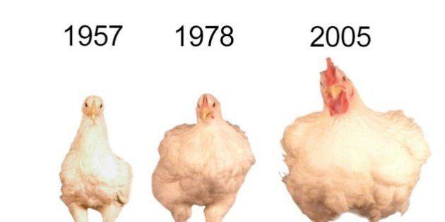 Por que as galinhas de hoje em dia são tão maiores que