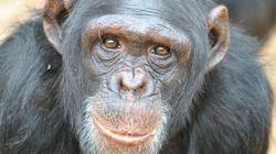 Chimpanzés têm mais paciência que os humanos, revela