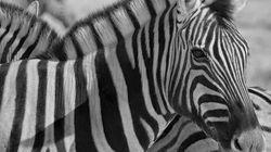 7 zebras surpreendentes que avacalharam o seu