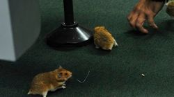 Saiba quem ficou com os ratinhos da CPI da