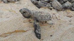 Quando a diversão vira crime ambiental: quadriciclos atropelam tartarugas e seus ninhos em praia do Rio Grande do