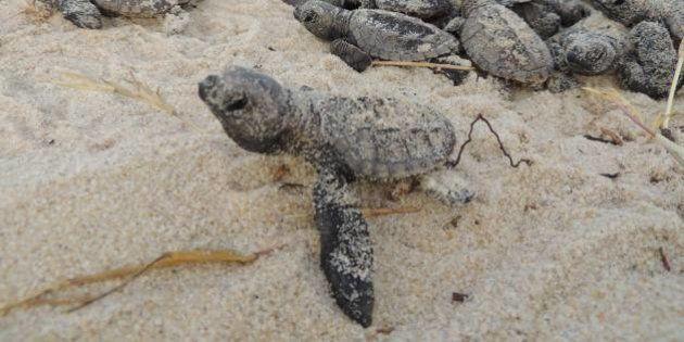 Tartarugas são atropeladas nas praias de São Miguel do