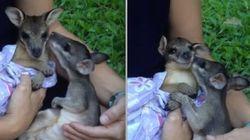 ASSISTA: Órfãos, filhotes de canguru se encontram pela primeira