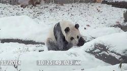 Esse panda está amando a neve como ninguém nunca