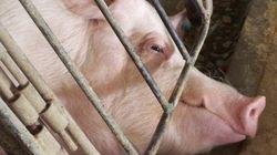'Não vamos parar até que todas as porcas estejam livres deste