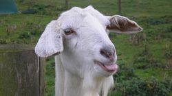 Méééééééé! Veja uma seleção de vídeos com cabras
