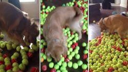 ASSISTA: Cachorro ganha 800 bolinhas de aniversário e tenta brincar com