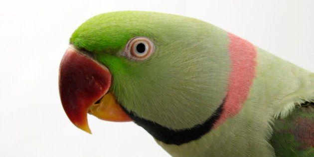 Alexandrine Parakeet / Alexandrian Parrot (Psittacula eupatria). (Photo by: Education Images/UIG via...
