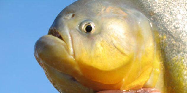 As sementes levadas pelos peixes semeiam a biodiversidade do