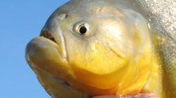 Este peixe é responsável por semear a biodiversidade do